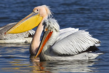 Dalmatian Pelican & White Pelican by Johan Oli Hilmarsson_winter photography