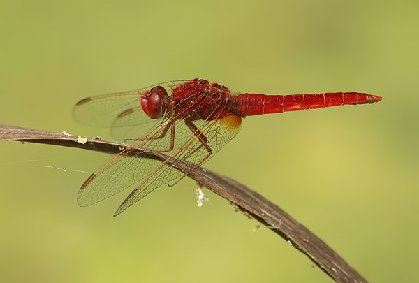 Red-veined Darter_ Sympetrum fonscolombii