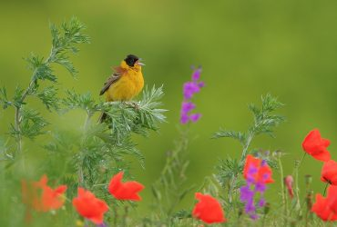 Black-headed Bunting by Mladen Vasilev