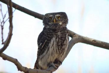 pygmy owl2