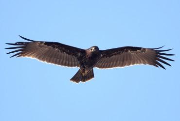 Greater Spotted Eagle by Mladen Vasilev