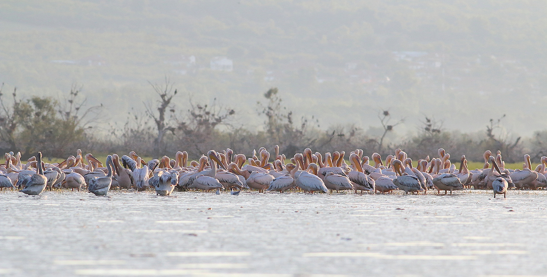 White Pelicans at Lake Kerkini by Dimiter Georgiev