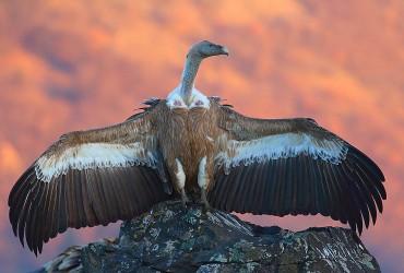 Eurasian Griffon Vulture by Dimiter Georgiev